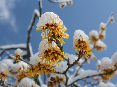 Witch hazel blossoms capped in snow.