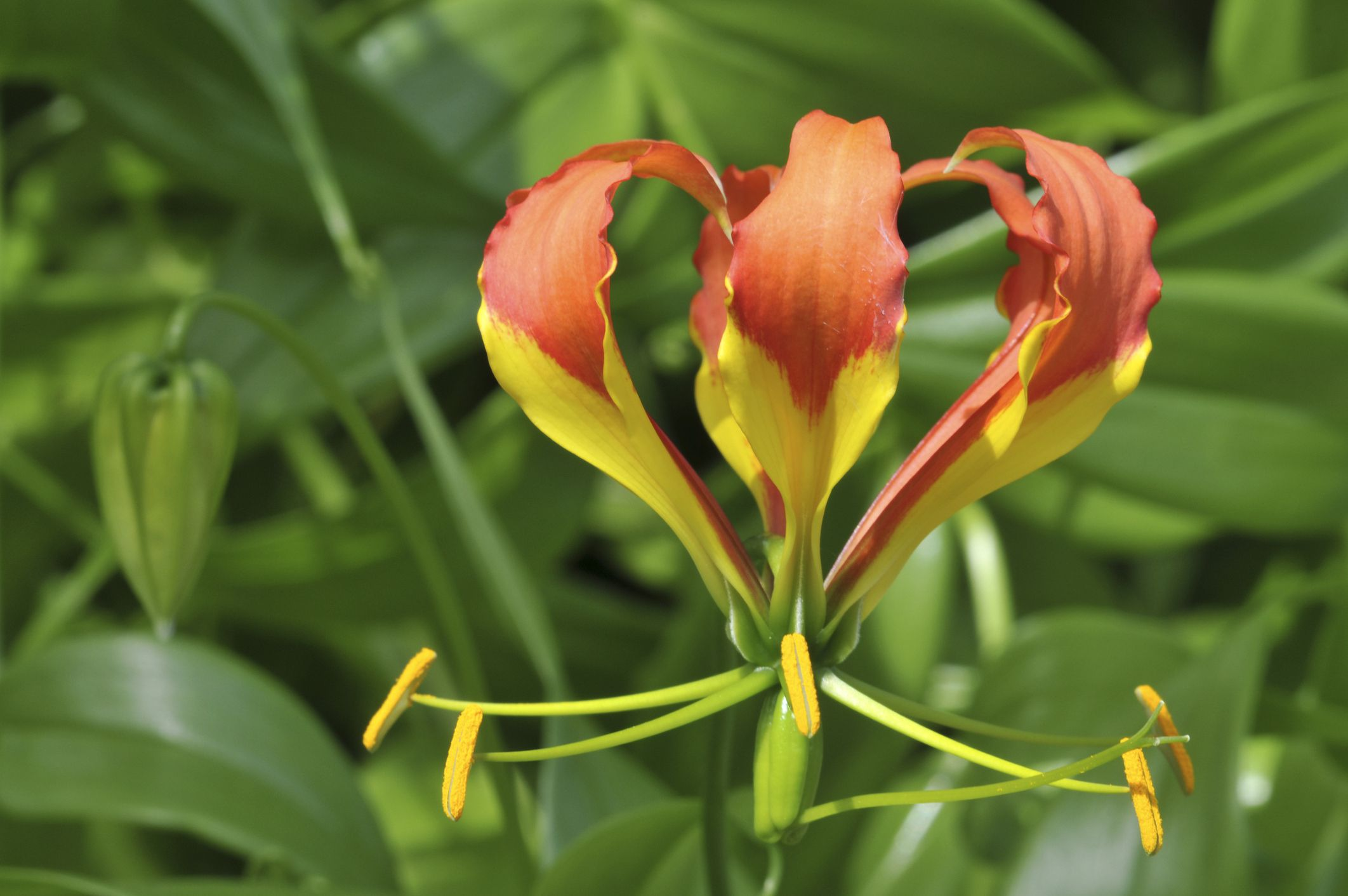 How to Grow and Care for Gloriosa Lily