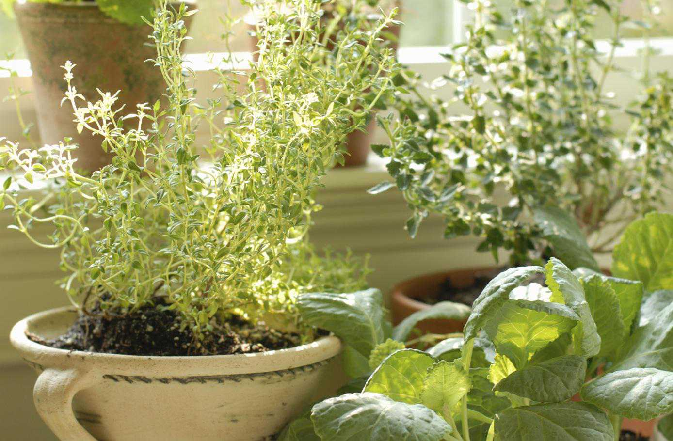 Pots With Herbs On Window Sill
