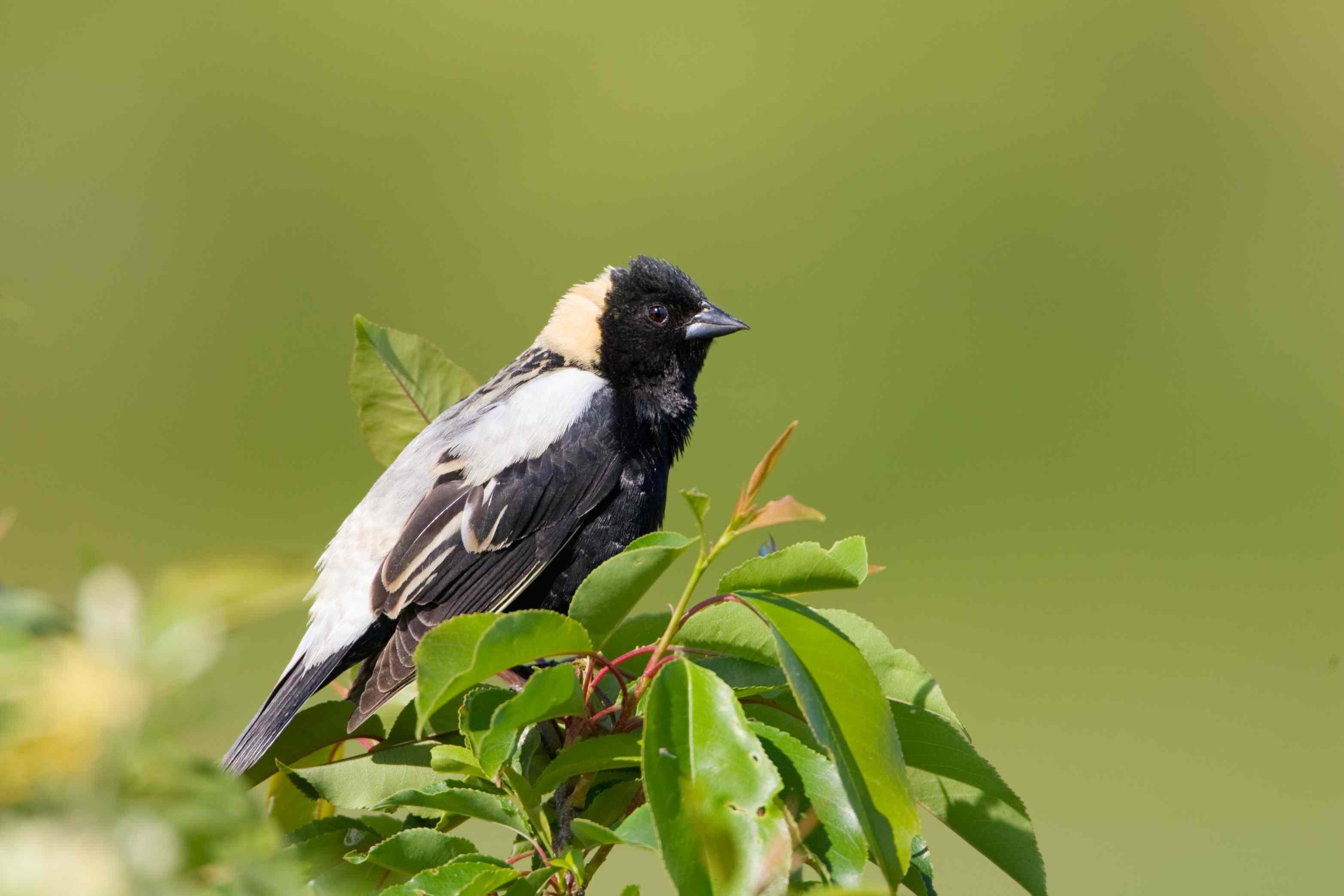 Bobolink Blackbird