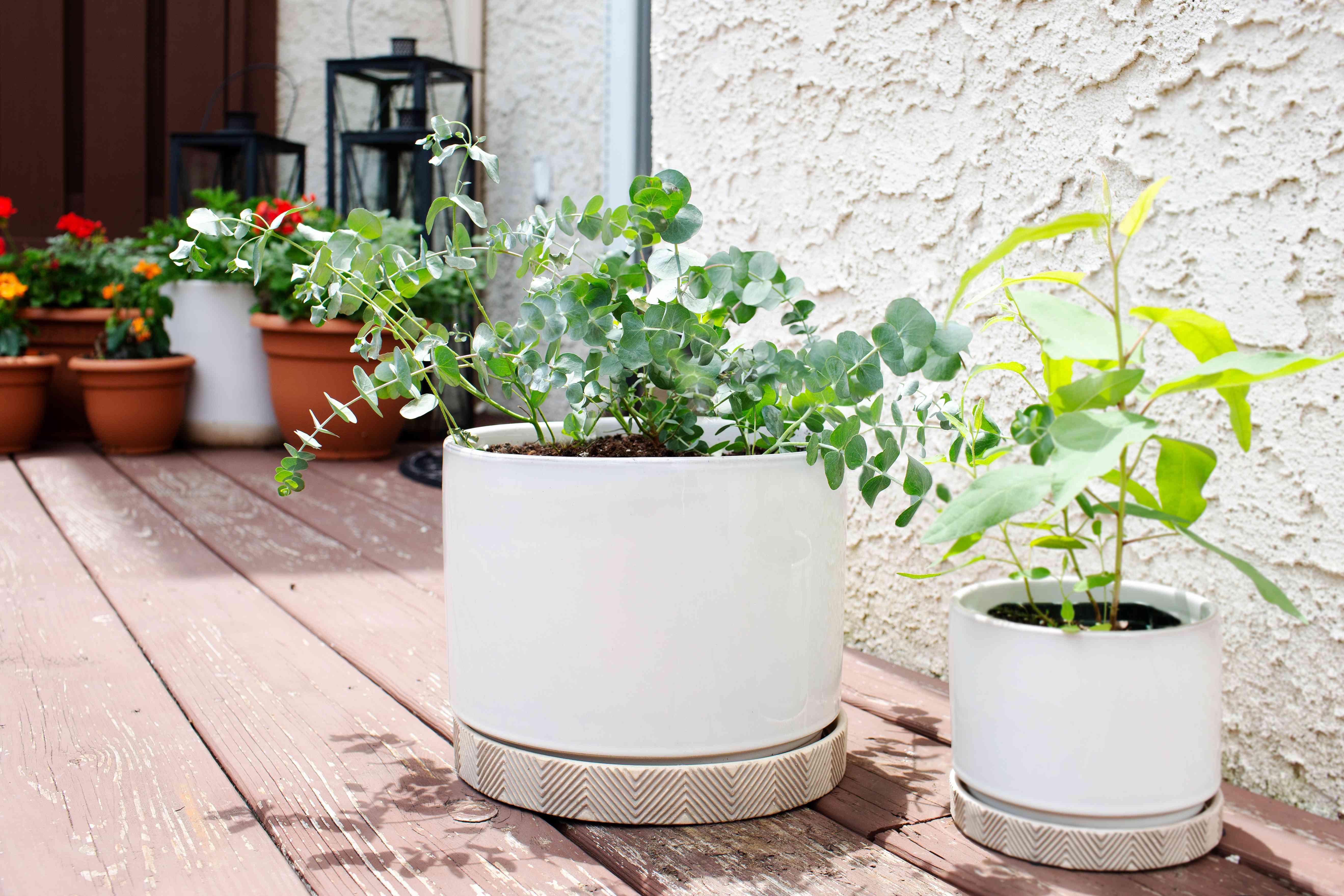 Blue eucalyptus plant in white pot outside on wooden surface in sunlight