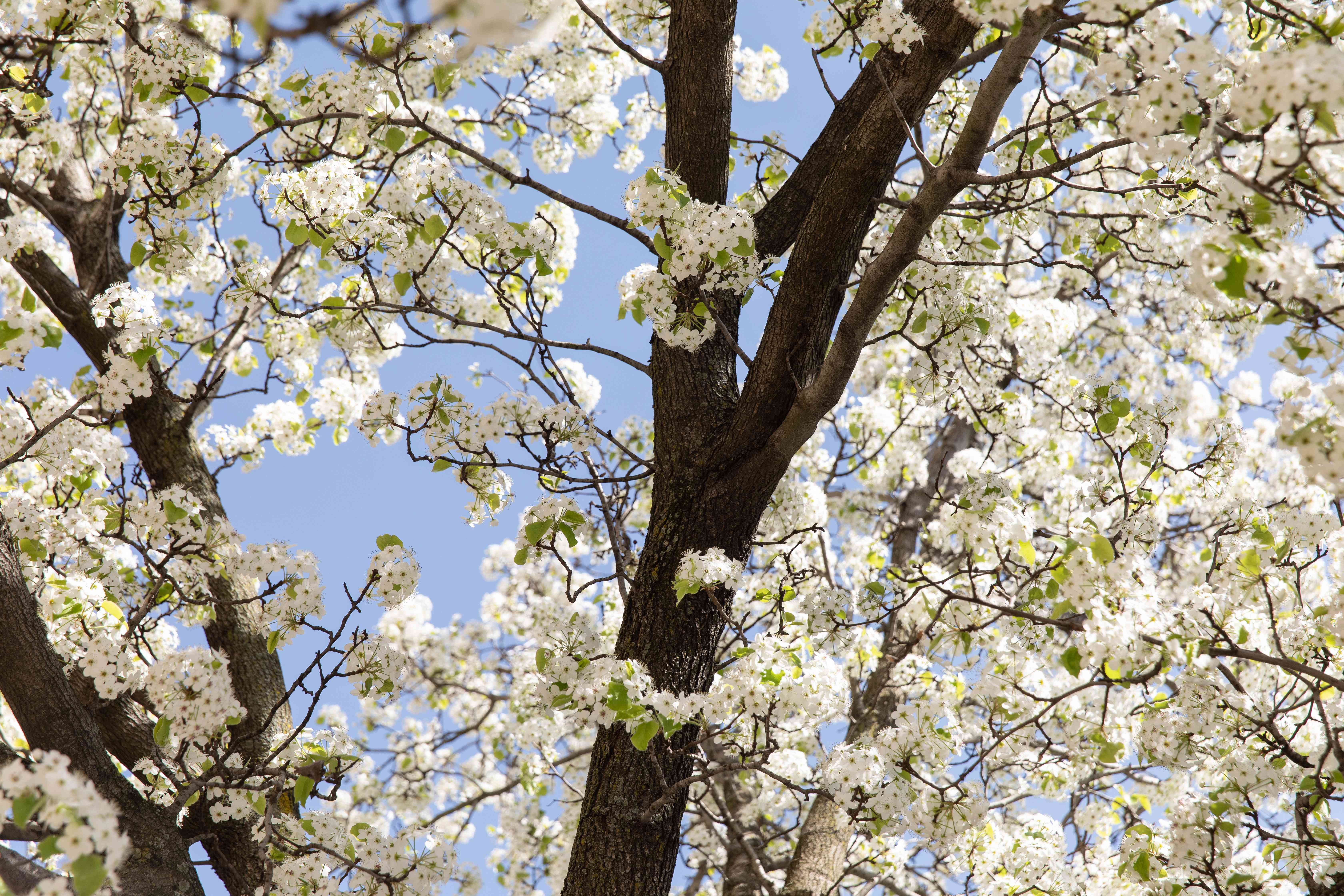 Calley pear tree trunk surrounded by white flower blossoms on branches