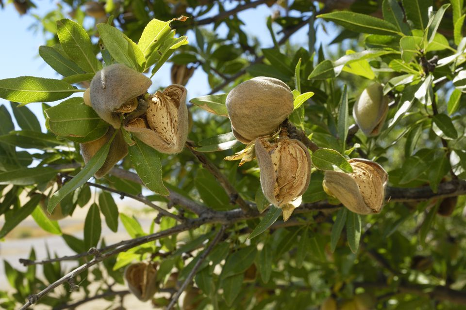 Seedpods of almond cracked open on a tree