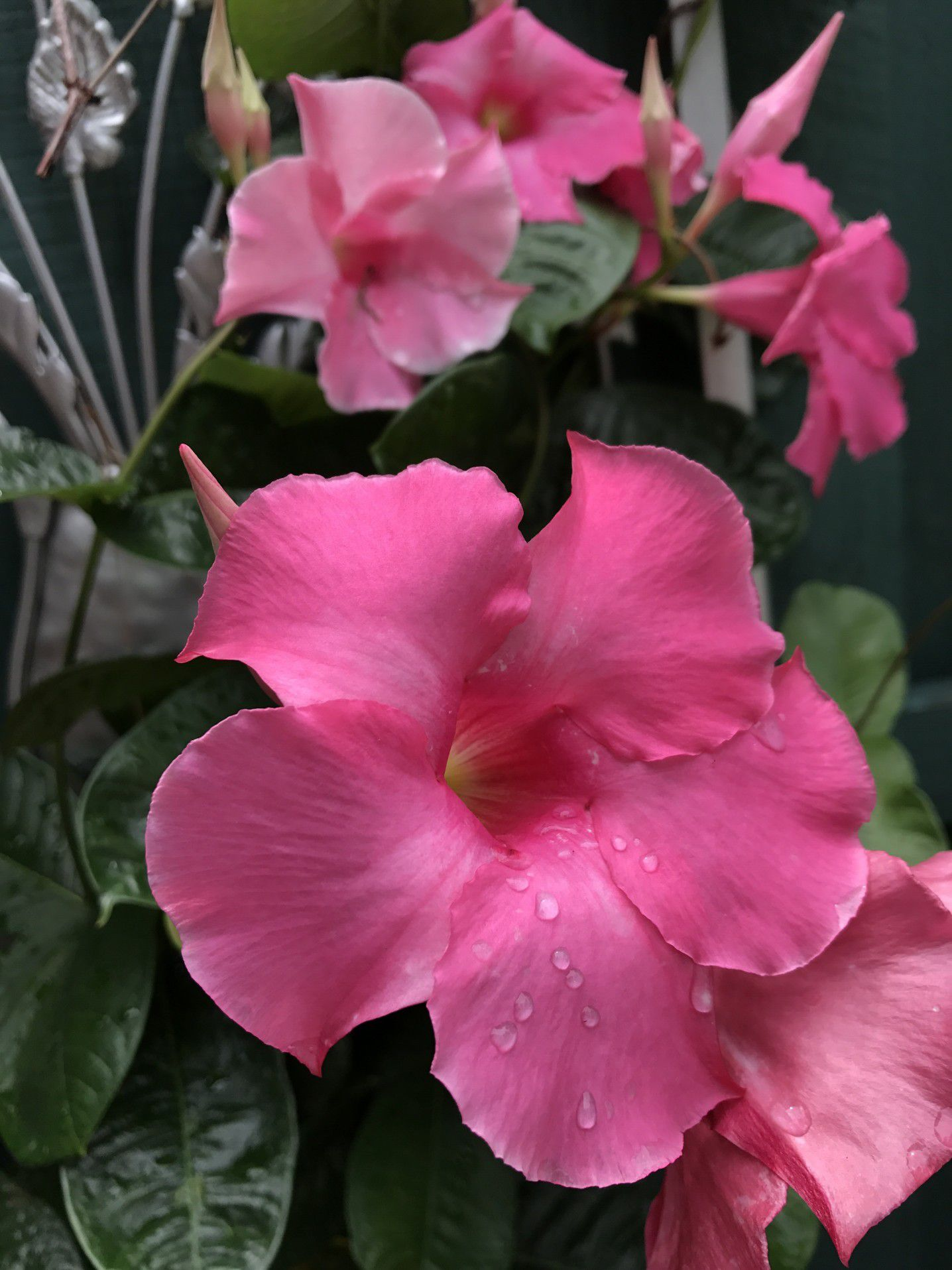 How To Grow Dipladenia And Mandevilla In Containers