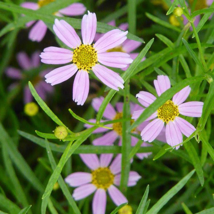 Pink coreopsis with pink petals and yellow centers
