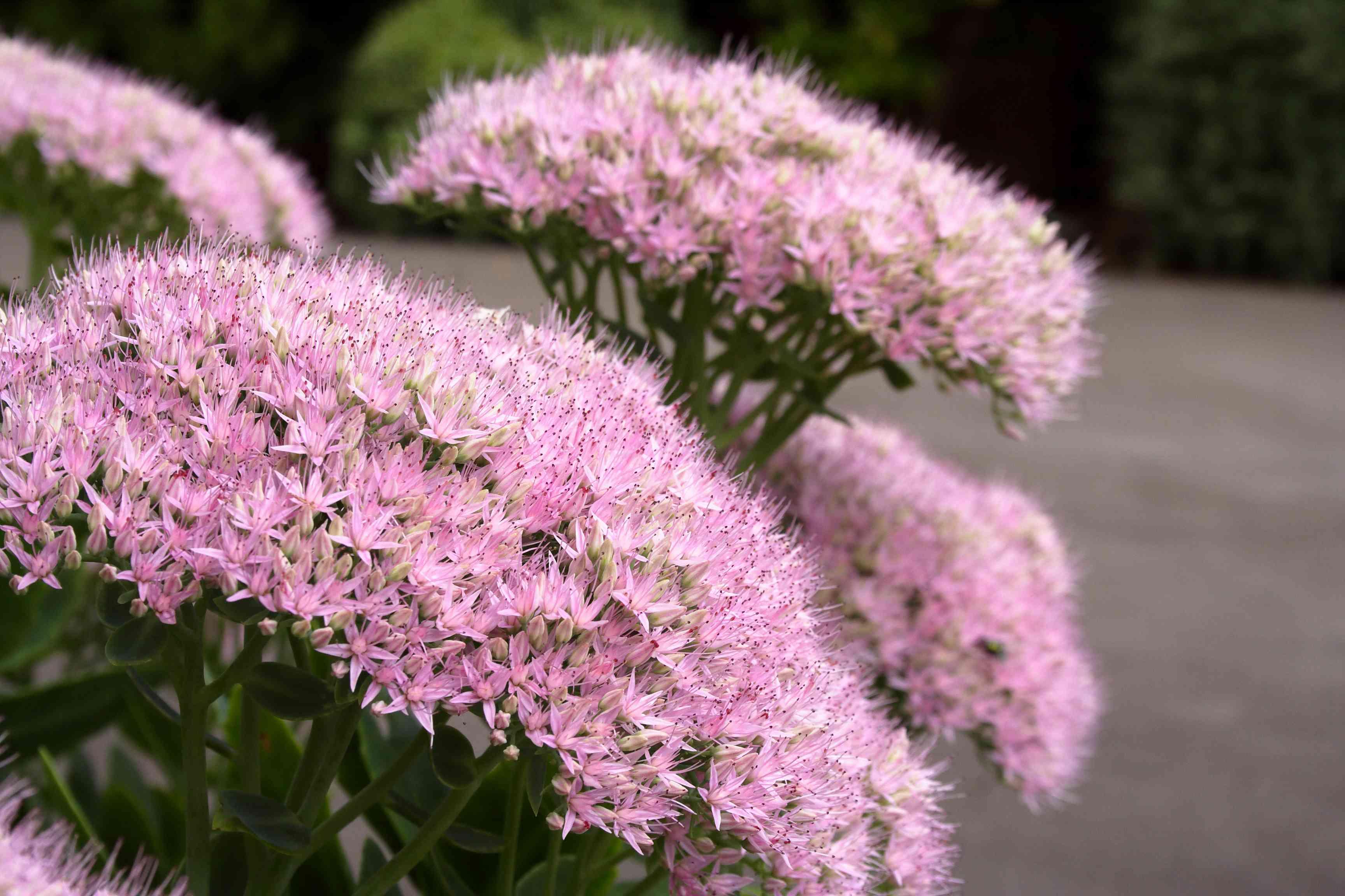 Flowering Autumn Joy Succulent Plant