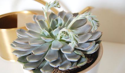 Mexican snowball succulent (Echeveria elegans) in a white pot with a gold watering can in the background.