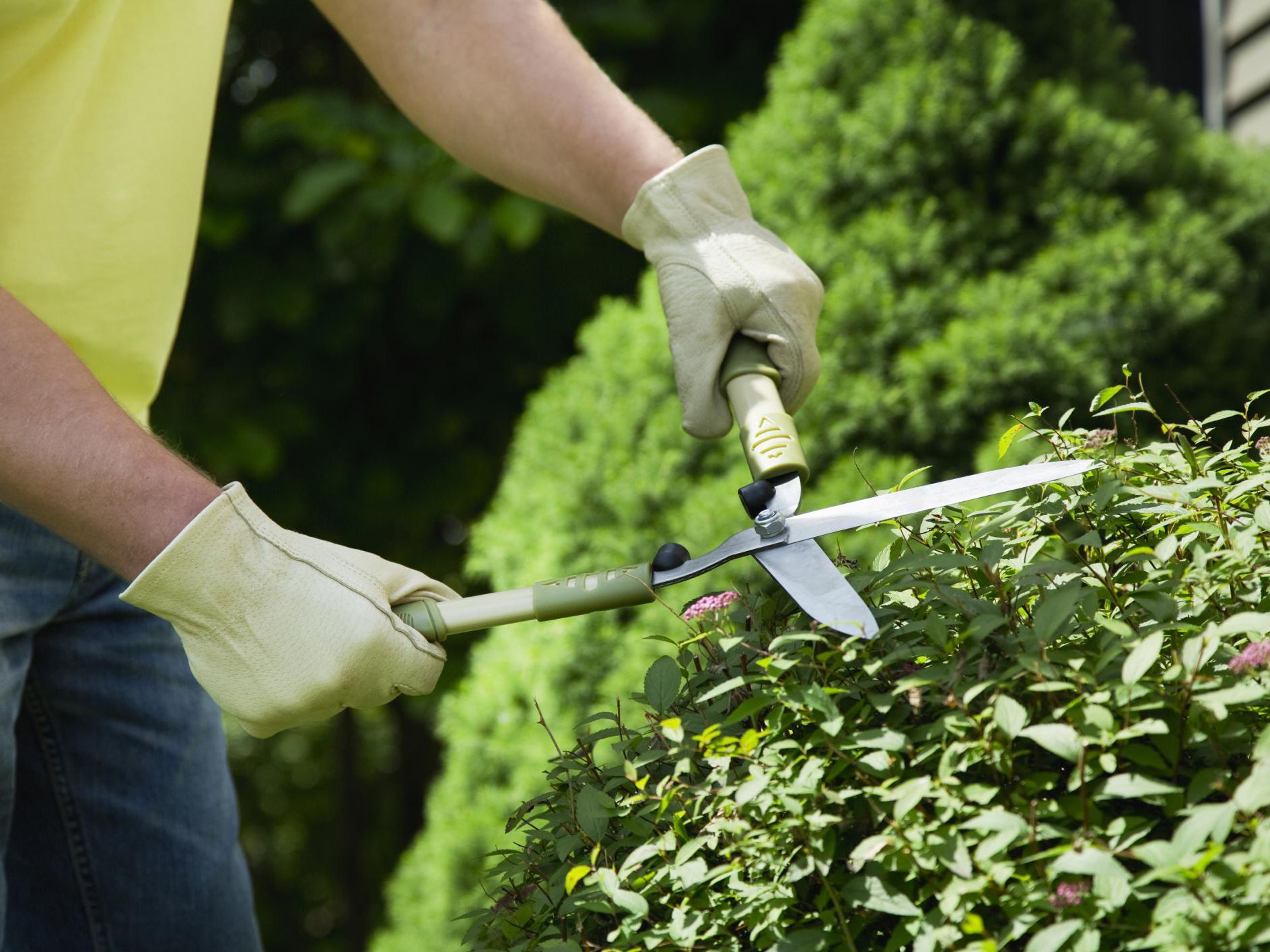 The 1/3 Rule for Pruning Shrubs