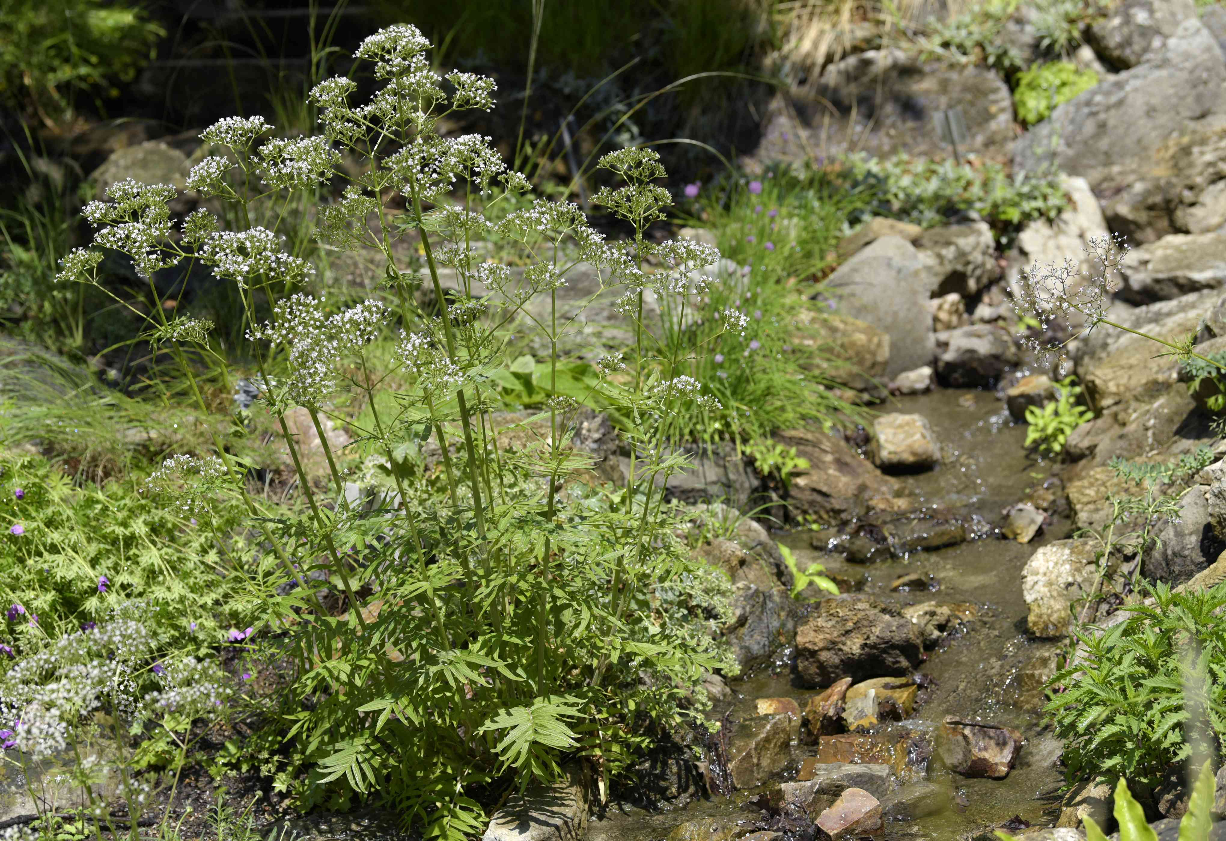 Valerian plant with small white flower clusters on thin stalks next to stream