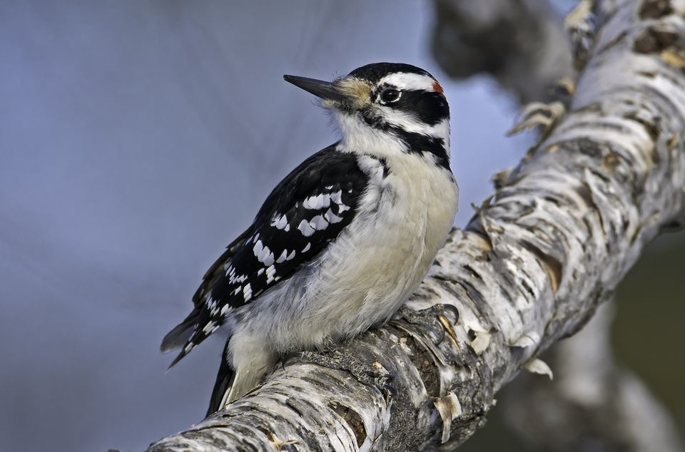 Downy woodpecker in a tree