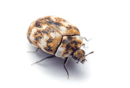 Black and Yellow Carpet Beetle
