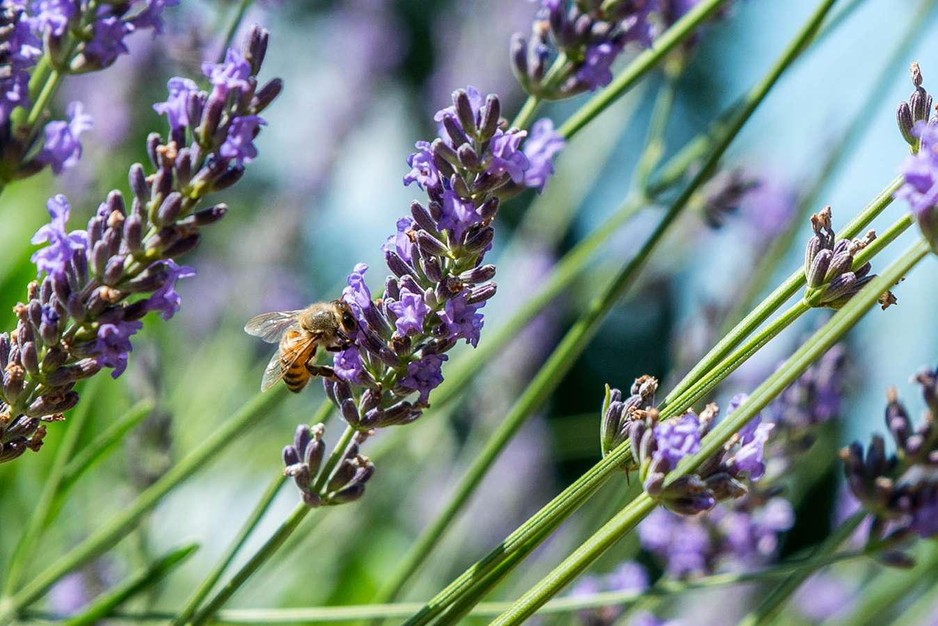 bee on a lavender bud