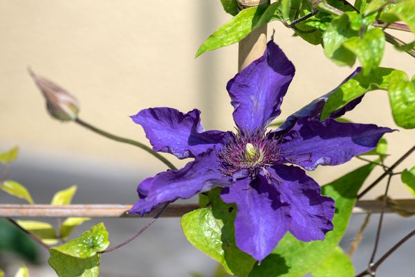 Clematis 'The President' plant with a large purple flower with reddish anthers in center