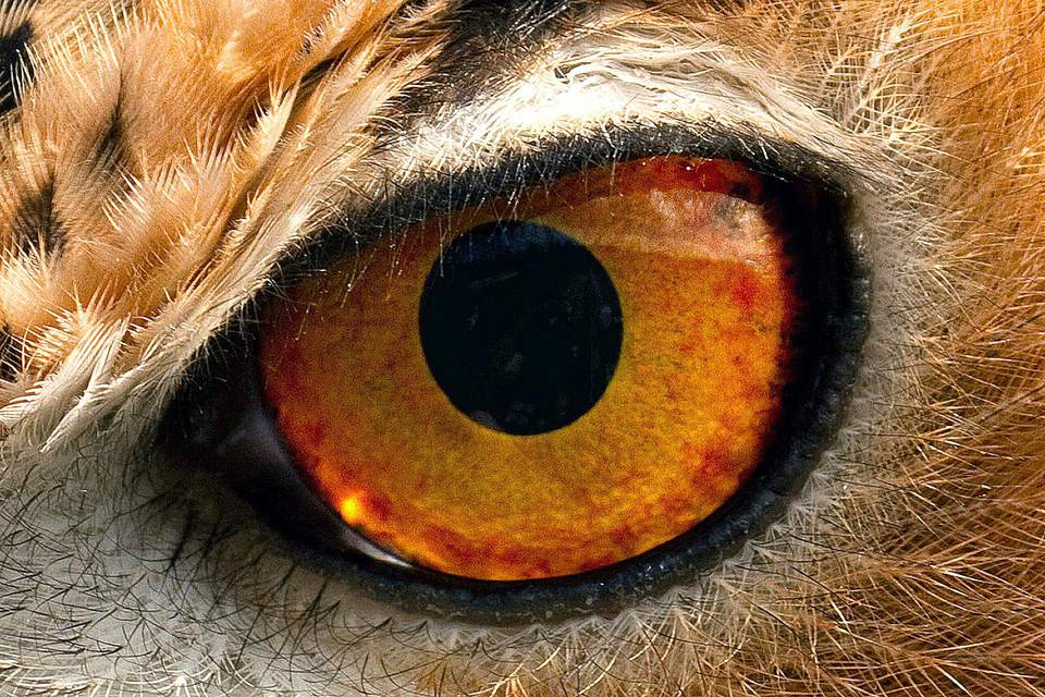 Owl Eye Closeup