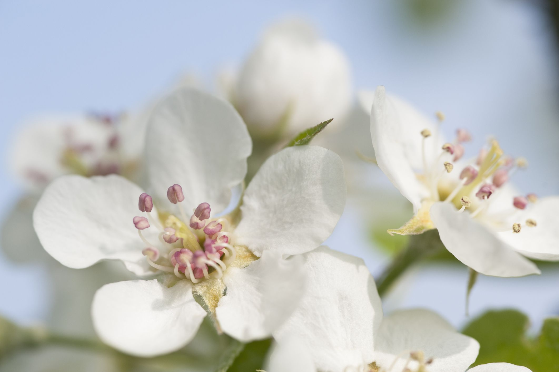 White apple blossoms.