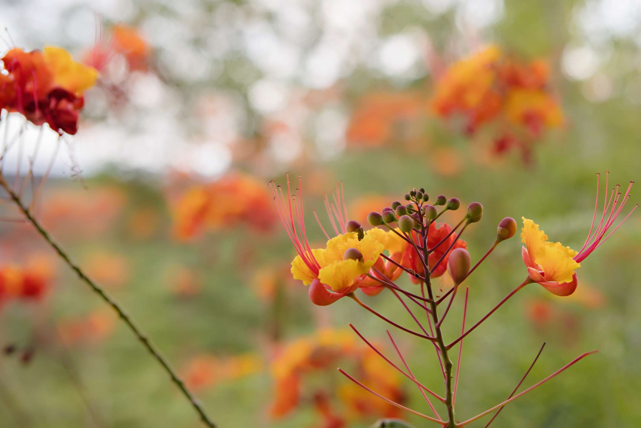 Red bird of paradise desert plant in bloom.