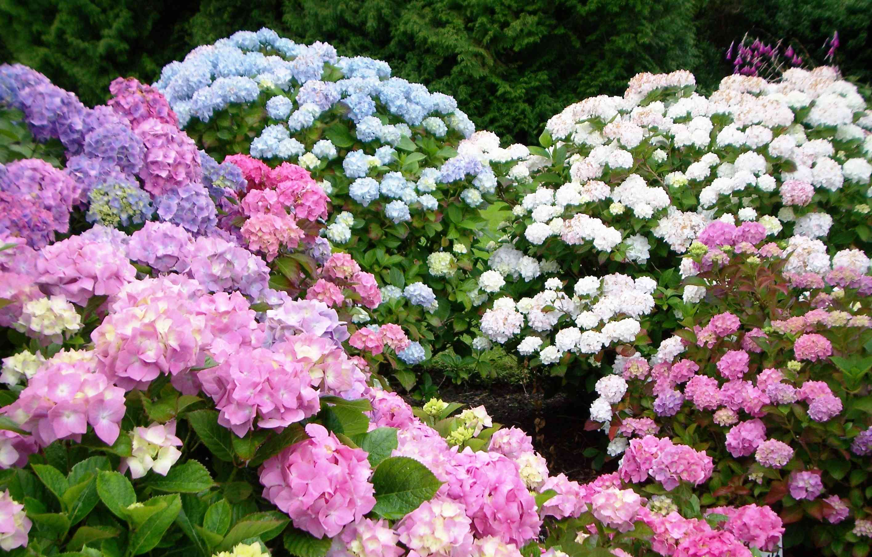 Varieties of Endless Summer Hydrangea shrubs in pink,blue, white, and purple.