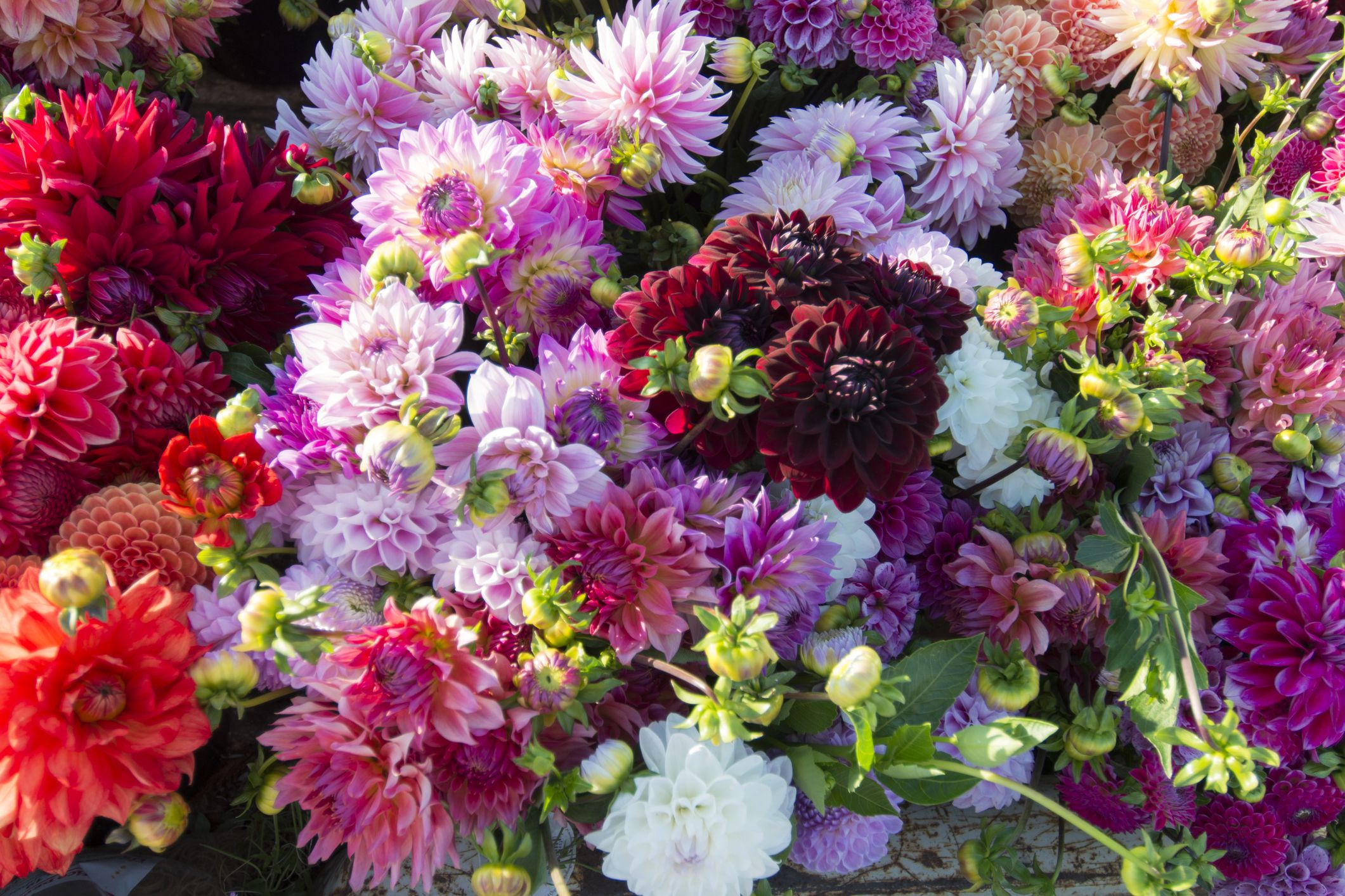 Growing Dahlias From Pompons To Dinner Plates