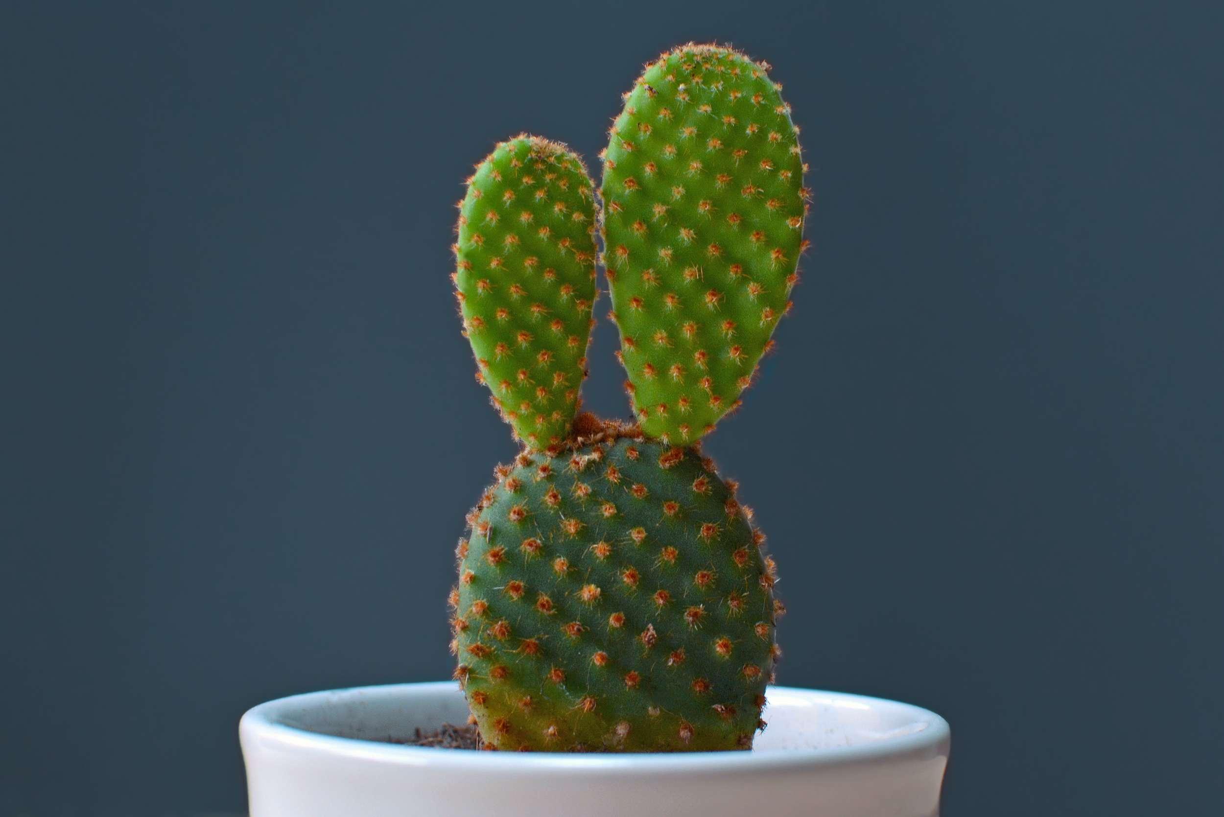 Bunny Ear Cactus Opuntia Microdasys