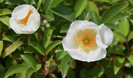 Cherokee Rose blossoms (Rosa laevigata) - White flowers with yellow stamens - Stock Photo - Japan (native to China, Taiwan, Laos and Vietnam)