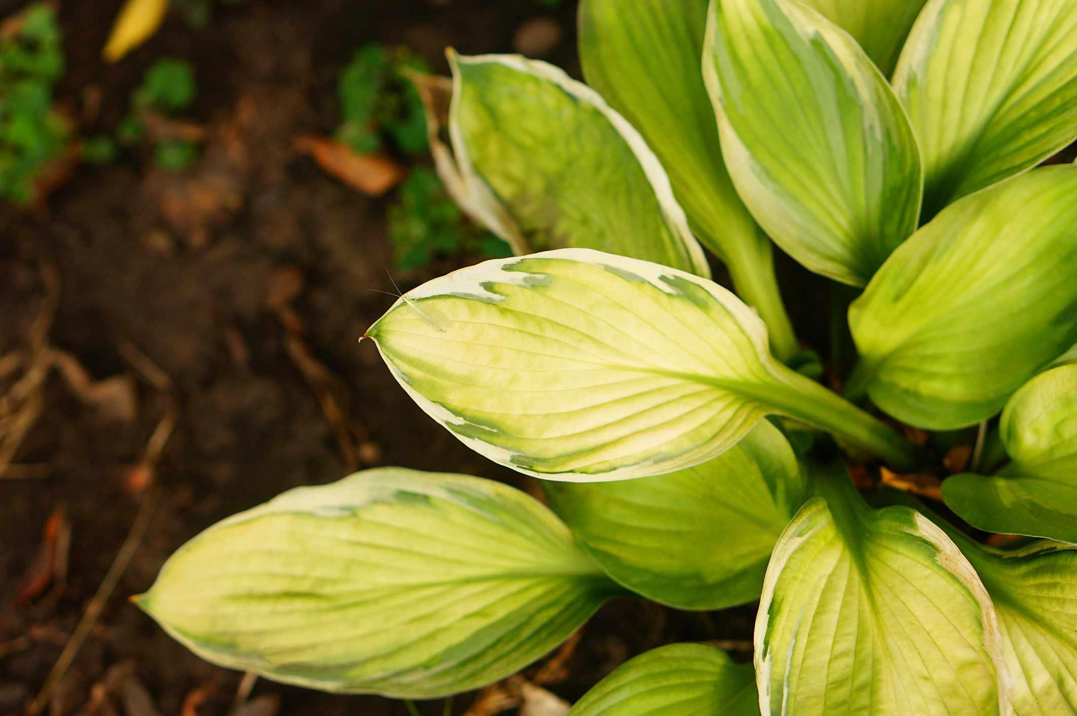 Hosta plant 'Captain's Adventure' in summer cottage garden