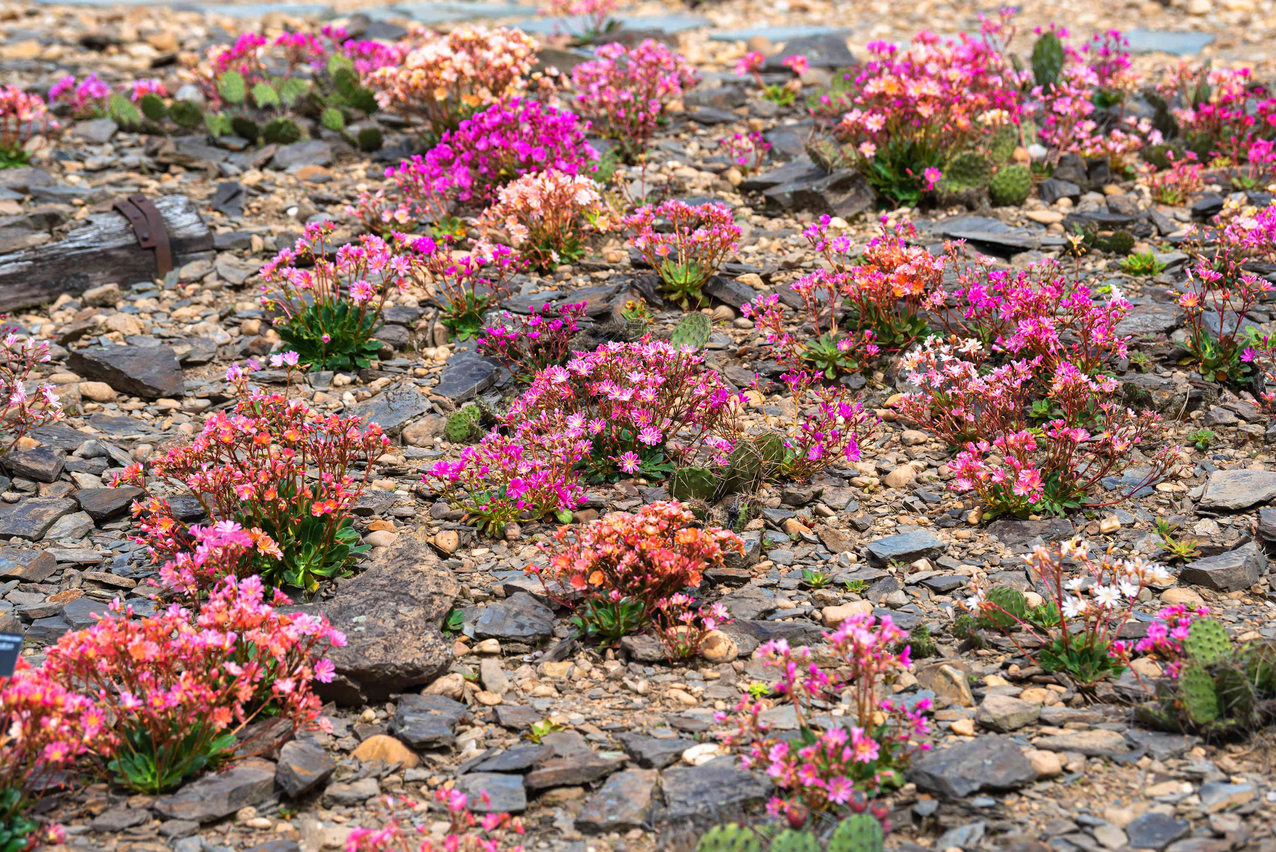 Rainbow lewisia plants with pink and orange flowers clustered between rocks and pebbles