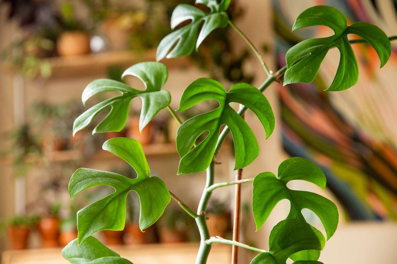 Philodendron minima houseplant with small Swiss cheese shaped leaves on thin stem