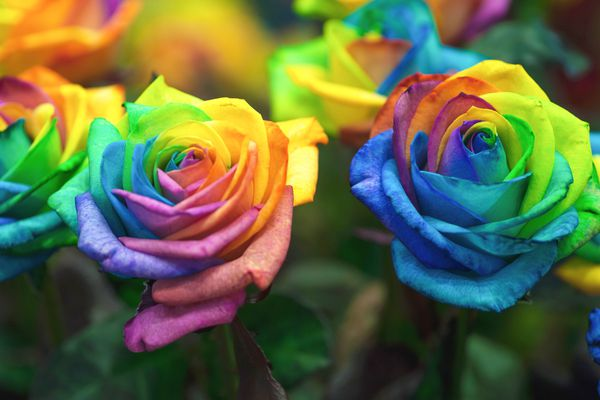 Roses with rainbow colored petals