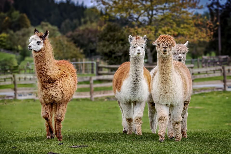 A group of alpacas on small farm