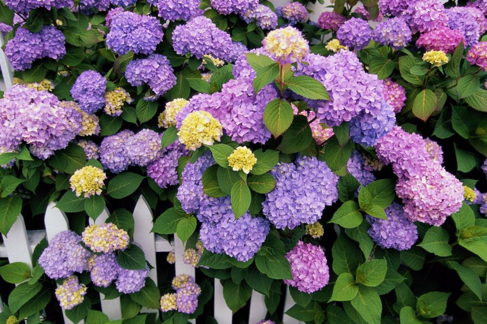Various hydrangeas growing near picket fence