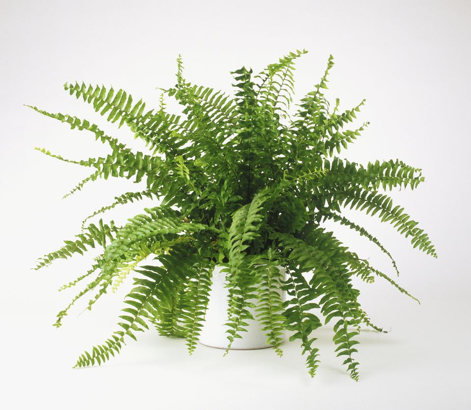 Nephrolepis exaltata Bostoniensis (Boston fern), growing in pot
