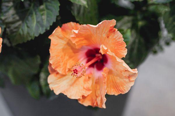 closeup of rose of sharon
