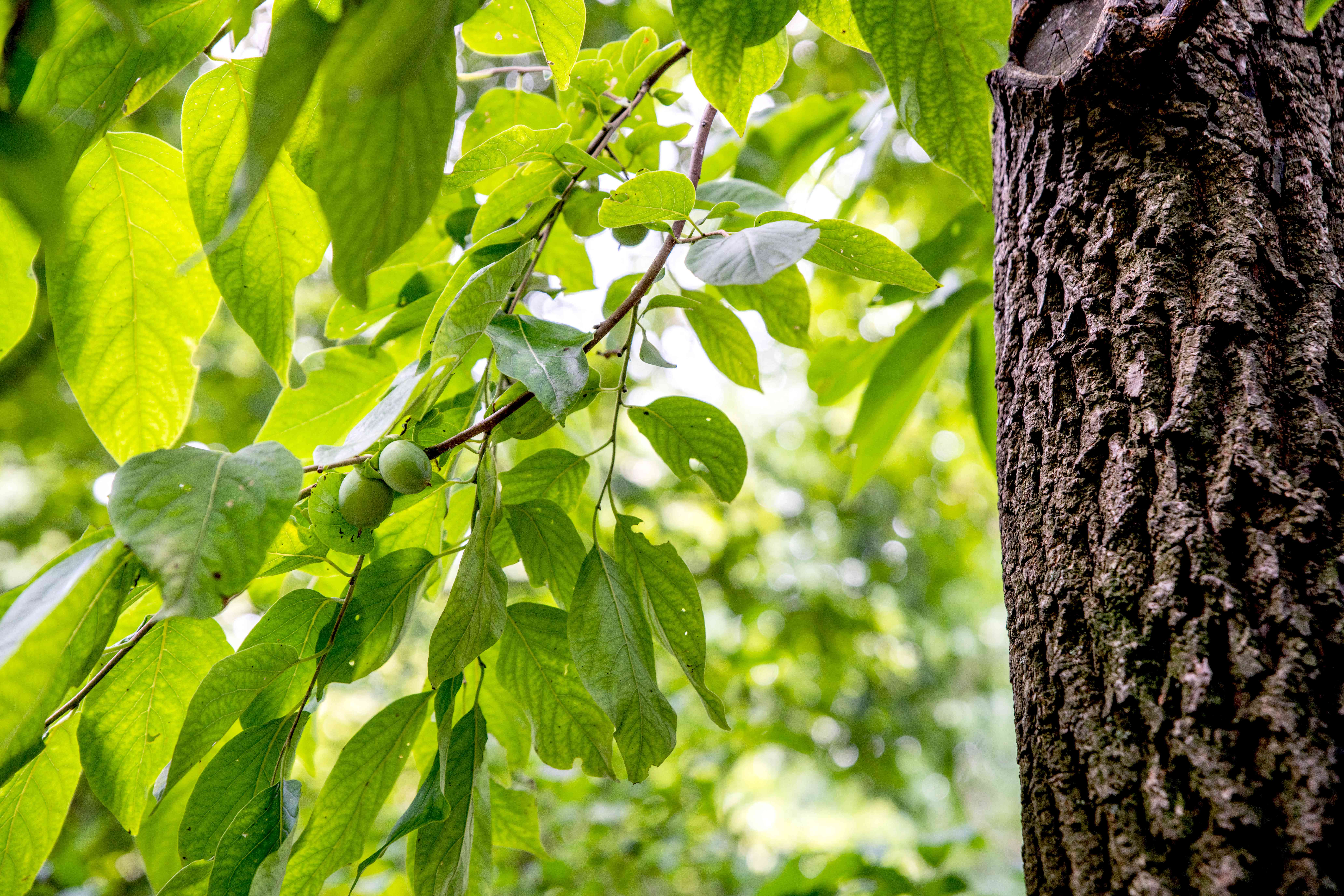 Persimmon tree trunk with deep grooves and branches with round light green fruit