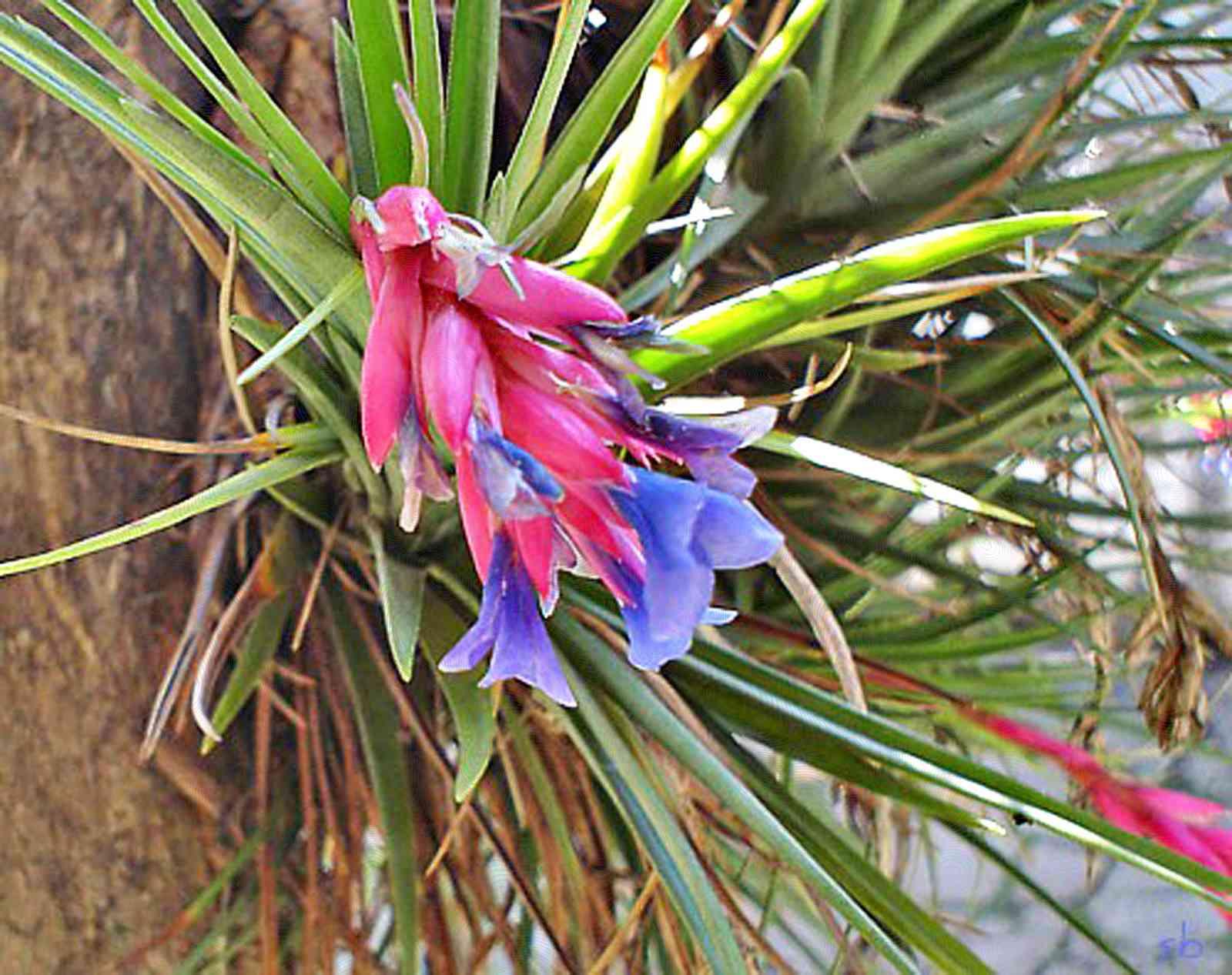 Planta de aire - Tillandsia recurvata