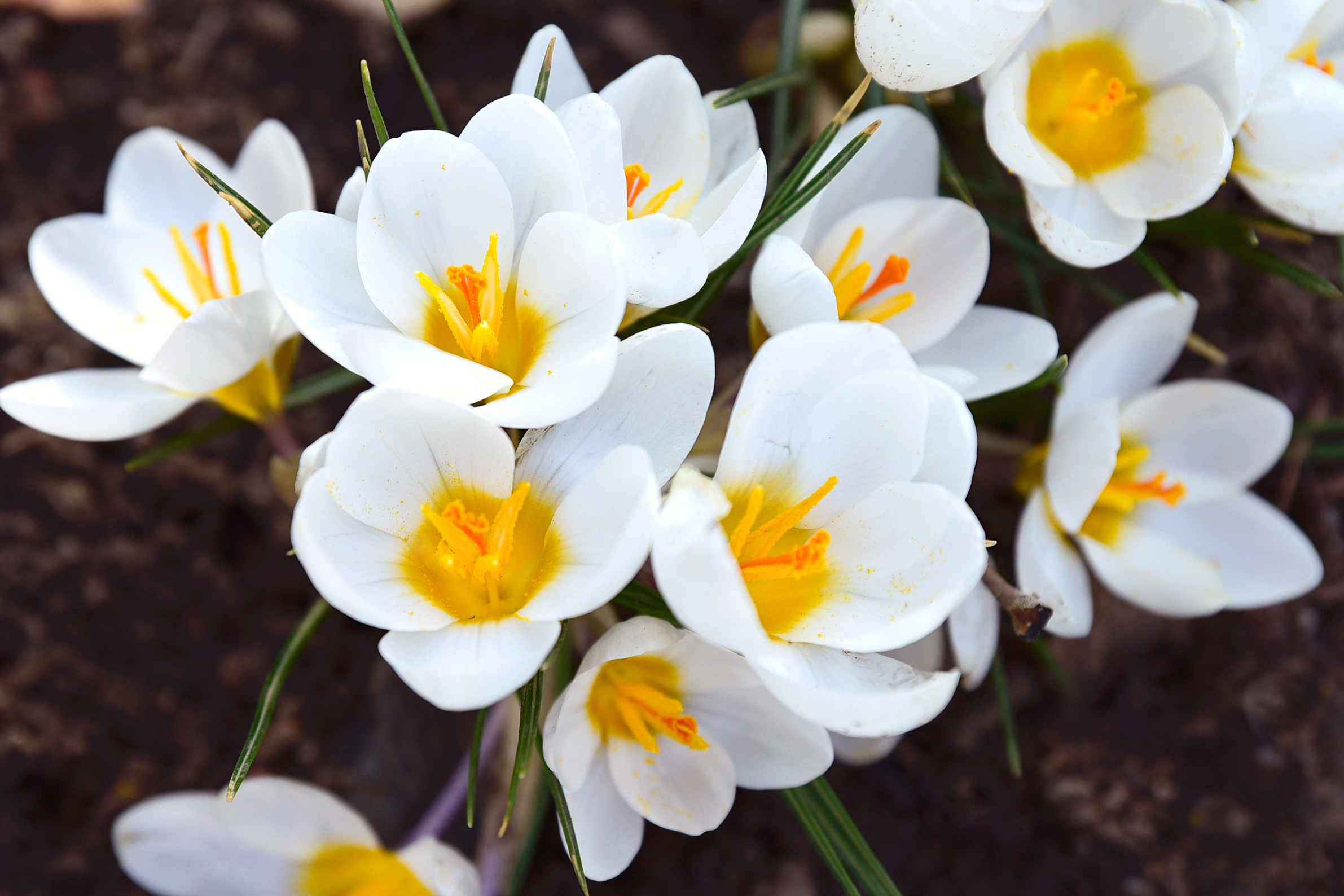 'Ard Schenk' crocus flowers with white petals and yellow centers closeup