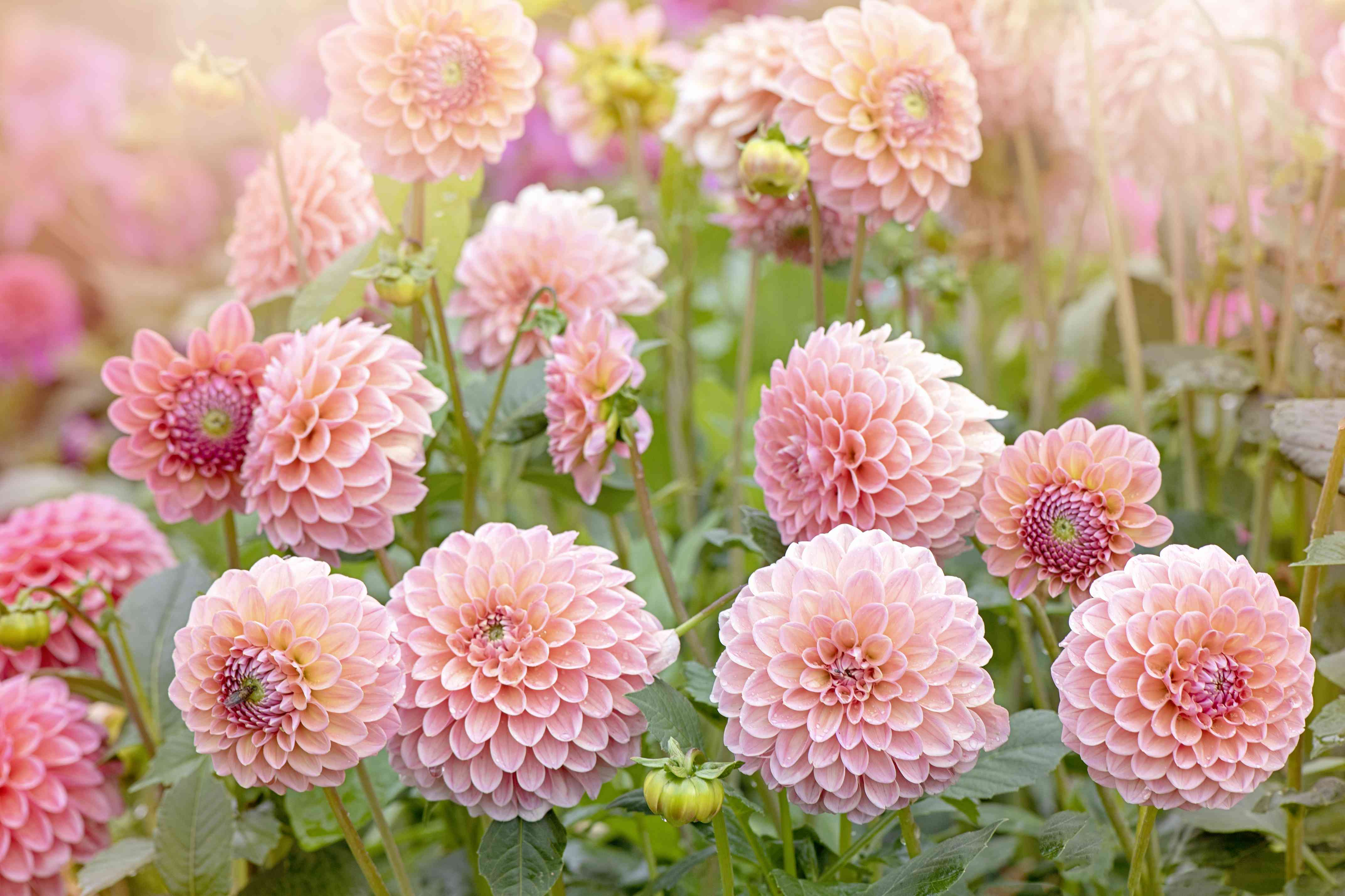 Close-up image of the beautiful summer flowering soft pink coloured 'Pompon' Dahlia flower in soft sunshine