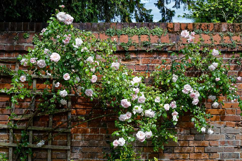 A pink climbing rose against a red brick wall