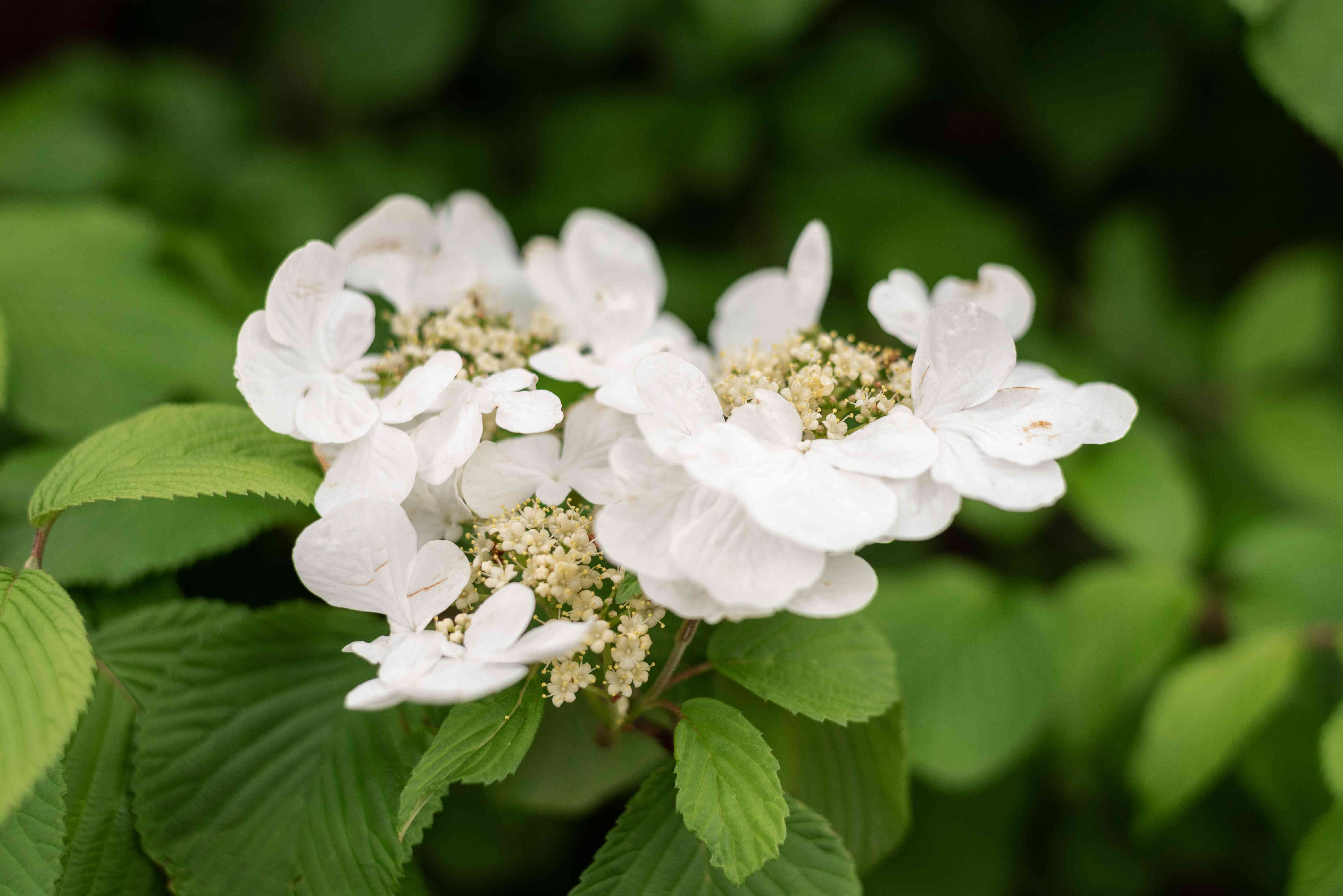Climbing hydrangea with small white flower clusters on ribbed leaves