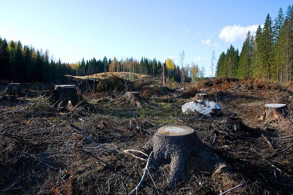 Clearcutting habitat loss with tree stumps among the forest