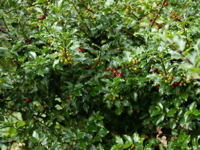 variety of holly shrub
