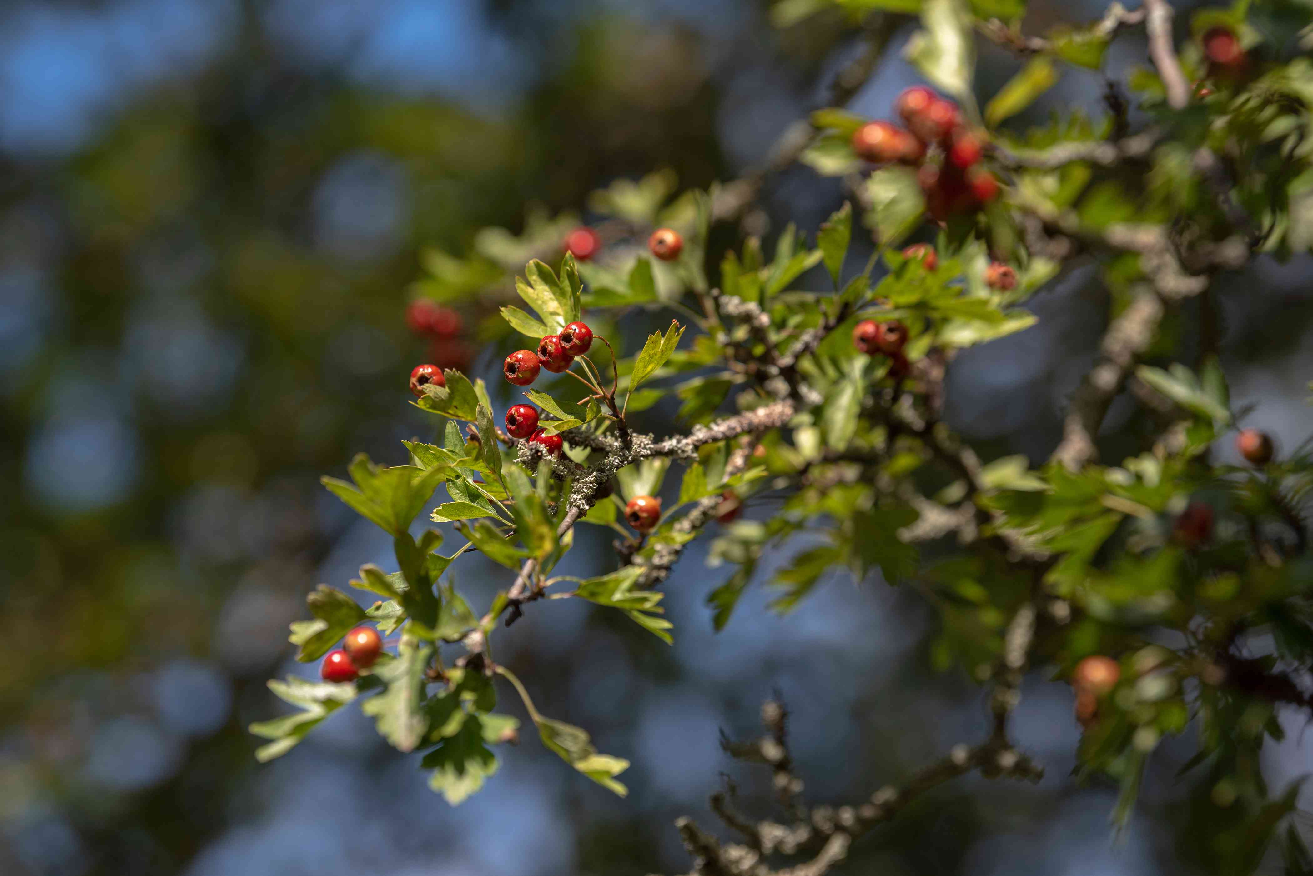 English hawthorn tree branch with small lobed leaves and small red fruit in sunlight