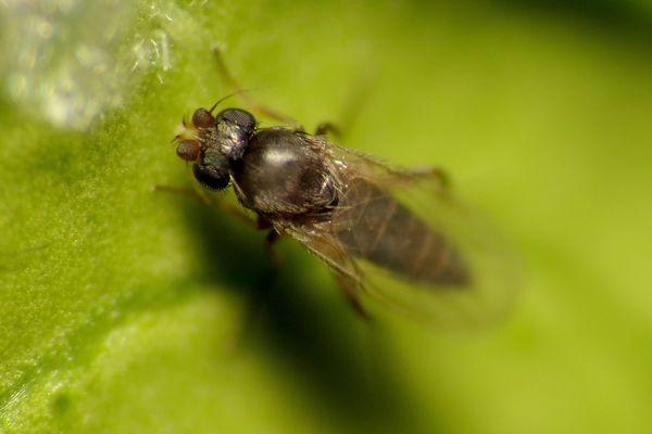 A phorid fly