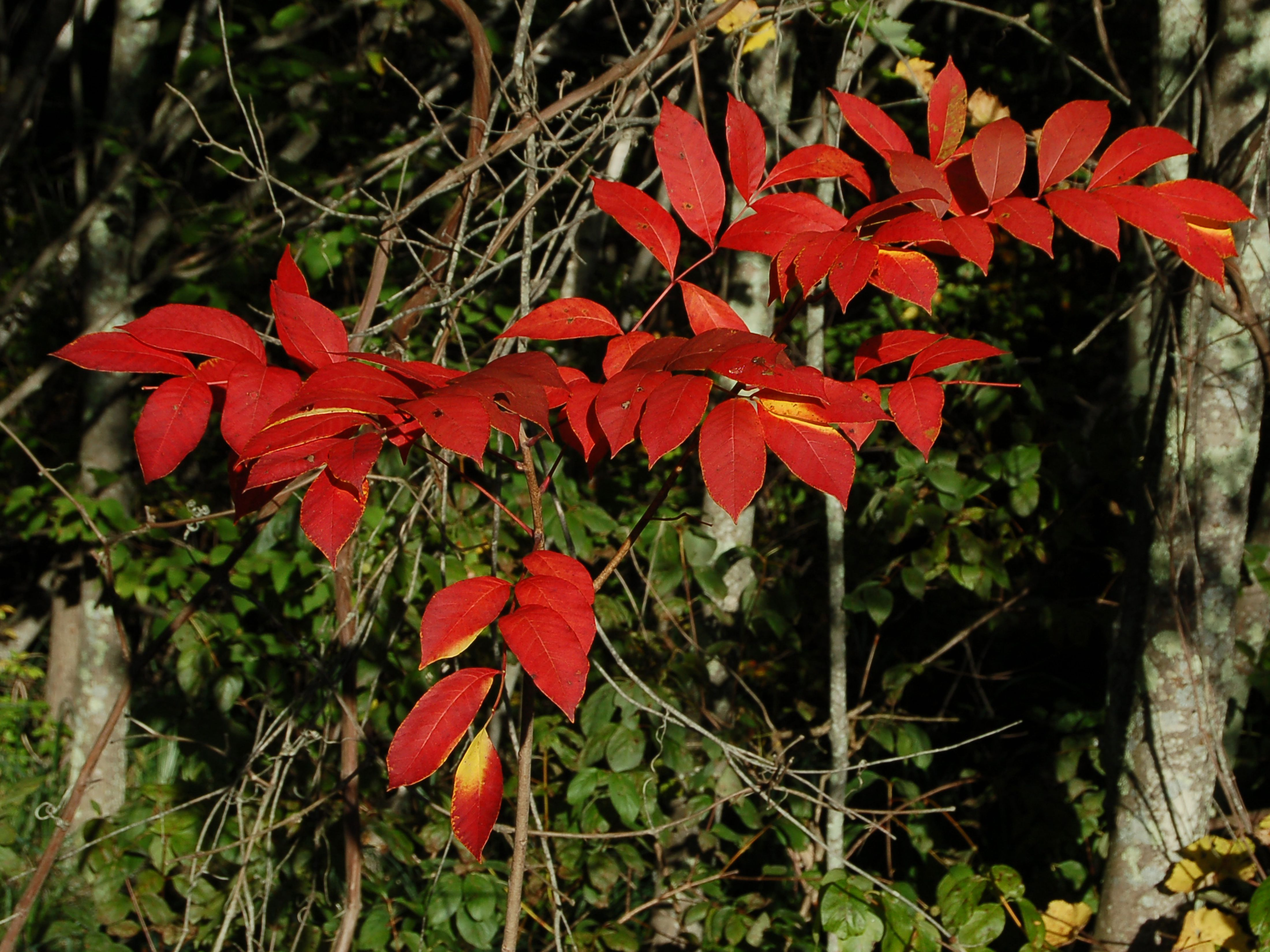 Poison Sumac Plant How To Identify And Remove Them