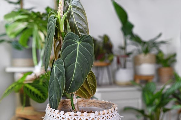 A philodendron melanochrysum in a basket planter with other tropical plants in the background.