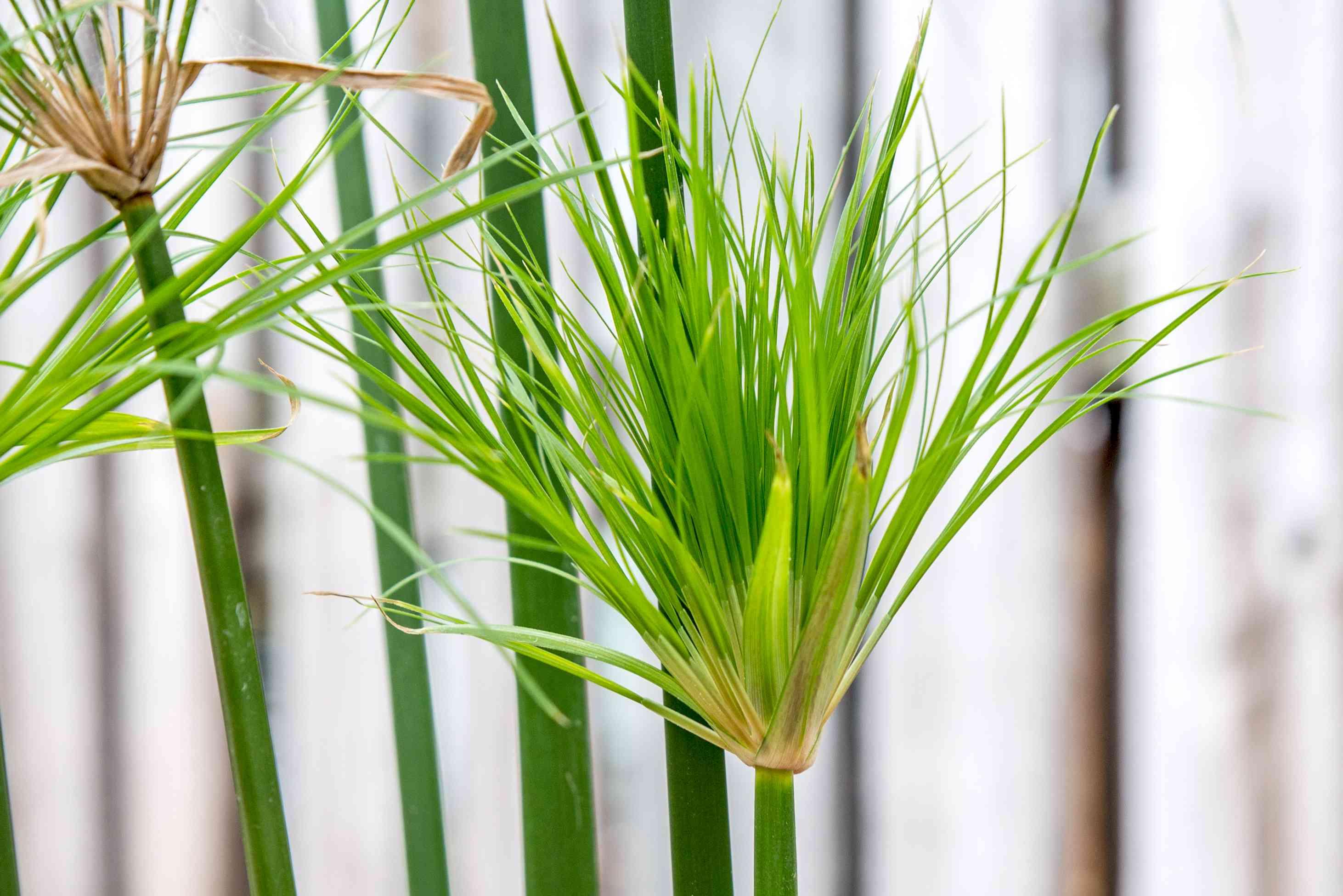 closeup of a papyrus plant