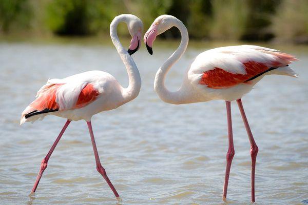 Flamingo Pair