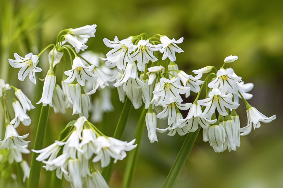 Close-up image of the beautiful Wild Onion, white spring flowers in soft sunshine