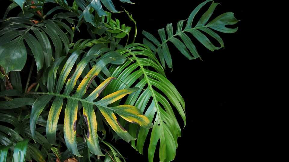 Yellowing leaves on a palm plant