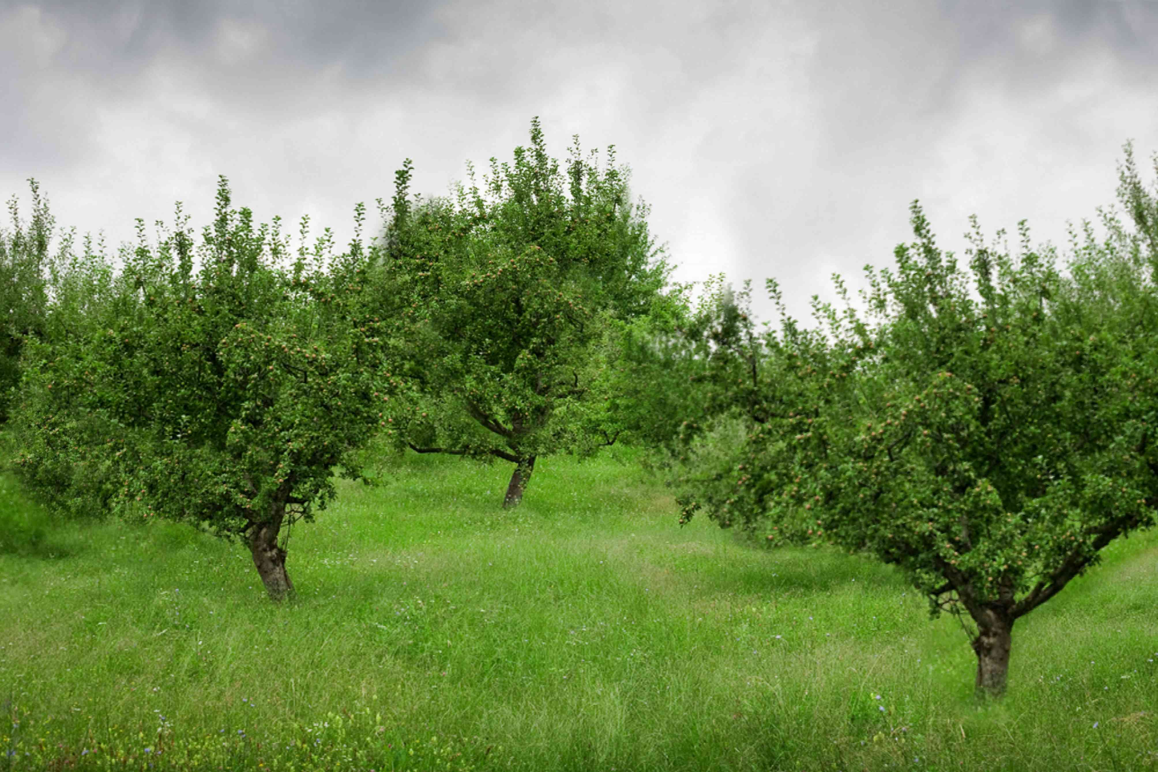 Early harvest apple trees in orchard surrounded by tall grass