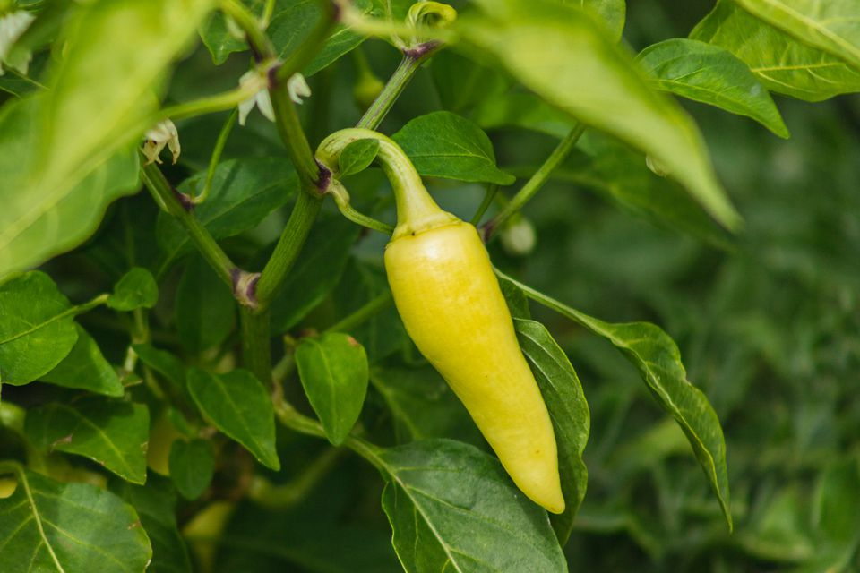 young jalapeño pepper
